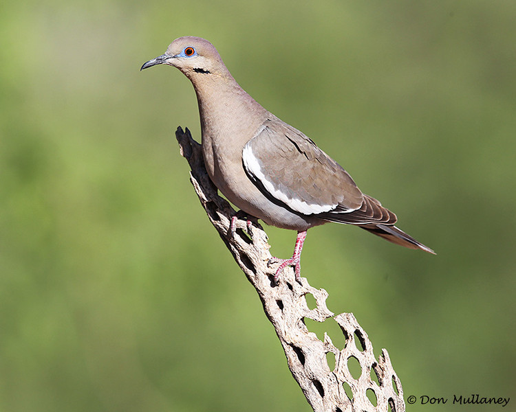 White-winged Dove - Green Valley,AZ