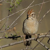 Rufous-winged Sparrow - Catalina State Park, AZ