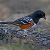 Spotted Towhee - Sierra Vista, AZ