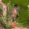 Greater Roadrunner - Green Valley, AZ