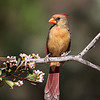 Female Northern Cardinal - Green Valley, AZ