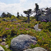 Wildflowers at Grandfather Mountain, NC