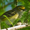 White-eyed Vireo - Wilmington, NC