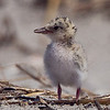 A Tern chick with a little stick in it's beak.
