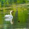 Swan - Airlie Gardens, Wilmington, NC