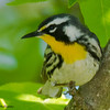 Yellow-throated Warbler - Wilmington, NC