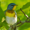 Northern Parula - Wilmington, NC