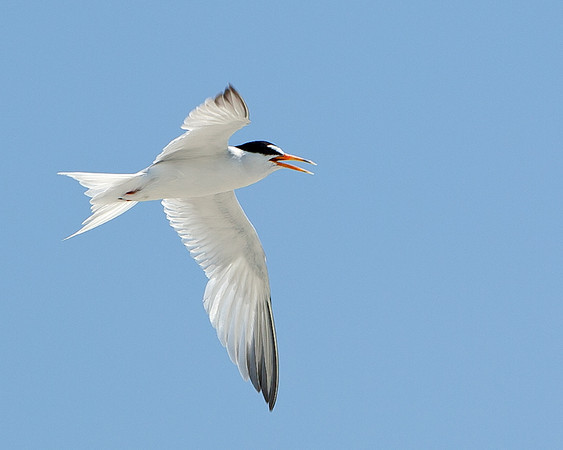 A Least Tern heading to the open water stops by to give me a warning.