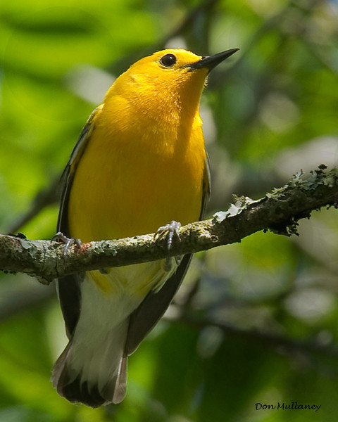 A beautiful Prothonotary Warbler the Greentree Impoundment near Wilmington, NC