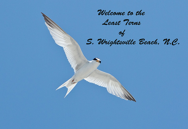 Welcome to gallery of photos taken at the Least Tern Nesting site on South Wrightsville Beach, NC.