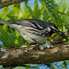 Yellow-throated Warbler with caterpillar - Greentree Impoundment