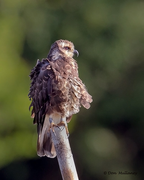 A juvenile Kite, looking very nice - Lake Toho, FL