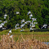 Each time the Kites would fly over, this entire colony of Cattle Egrets would take to the air - Lake Toho, FL