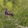 A perched female - Lake Toho, FL