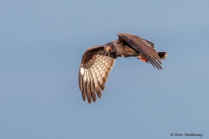 A female Snail Kite flyover - Lake Toho, FL
