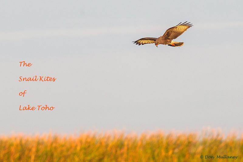 The Snail Kites of Lake Toho, FL