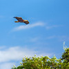 A Bald Head Eagle flyover - Lake Toho, FL