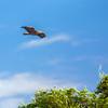 A Bald Head Eagle flyover - Lake Toho, FL