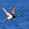 Male Mallard in flight- Vancouver Island, BC, Canada