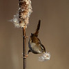 Marsh Wren with nesting material - Victoria, Vancouver Island, BC
