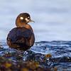 A female Harlequin Duck - Victoria, Vancouver Island, BC