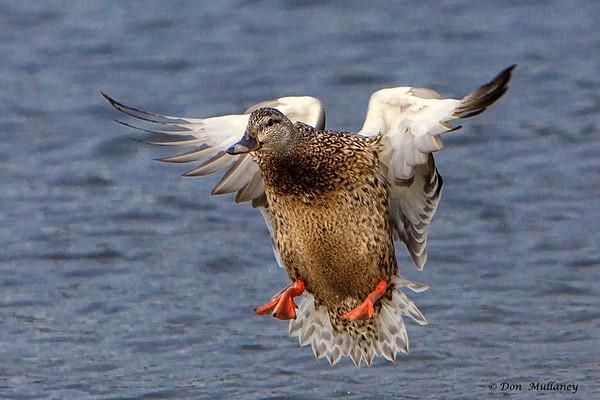 A female Mallard landing- Victoria Island, BC