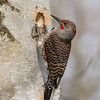 A Northern Flicker creating a new home. Notice how perfectly round it is.- Victoria, Vancouver Island, BC, Canada