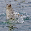The Harbor Seals, at the marina, slap the water with their fins, in order to get some treats - Victoria, Vancouver Island, BC