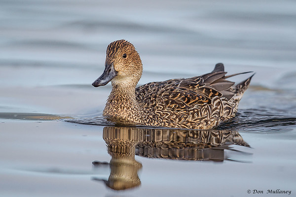 Female Northern Pintail- Vancouver Island, BC, Canada