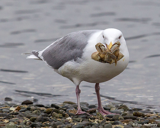 A gull with a crab lunch- Victoria, Vancouver Island, BC, Canada