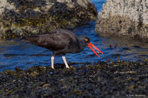 Black Oystercatcher flipping a snail- Vancouver Island, BC, Canada