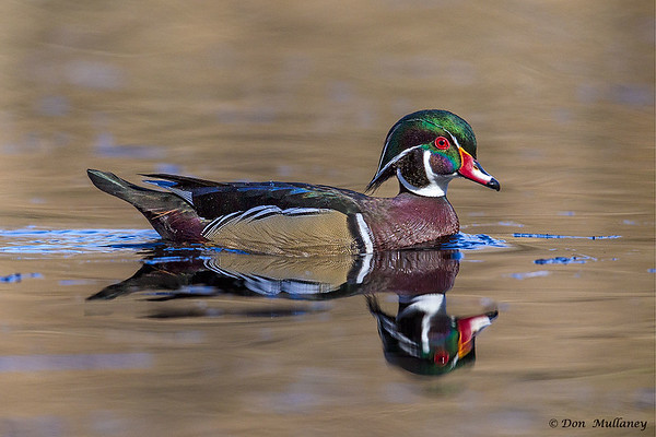 A handsome male Wood Duck- Vancouver Island, BC, Canada