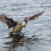Male Northern Pintail splashing down- Victoria, Vancouver Island, BC, Canada