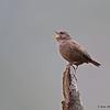 Pacific Wren Calling - Victoria, BC