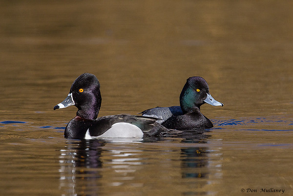 A male Ring-necked Duck on the left and a male Lesser Scaup, on the right- Vancouver Island, BC, Canada