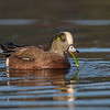 American Wigeon feeding- Vancouver Island, BC, Canada