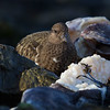Black Turnstone feeding on abalone - Victoria, Vancouver Island, BC