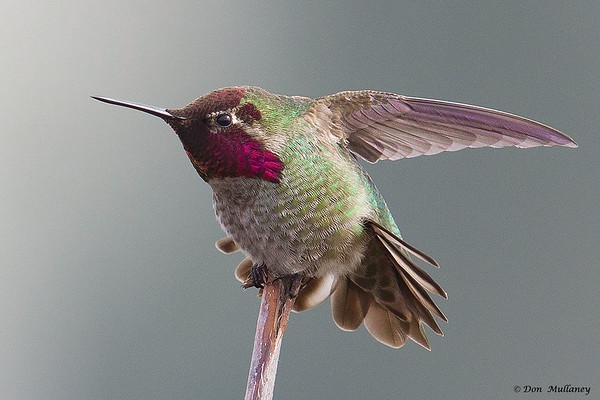 Anna's Hummingbird stretching it's wing- Victoria, Vancouver Island, BC, Canada