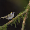 The beautiful Golden-crowned Kinglet- Victoria Island, BC