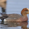 Young (eclipse) male Eurasian Wigeon- Vancouver Island, BC, Canada