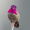 Anna's Hummingbird - Victoria, Vancouver Island, BC, Canada