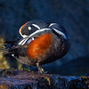 Harlequin Duck preening - Victoria, Vancouver Island, BC