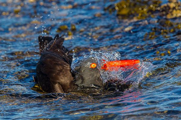 Black Oystercatcher bathing- Vancouver Island, BC, Canada
