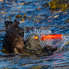 Black Oystercatcher bathing- Vancouver Island, BC, Canada