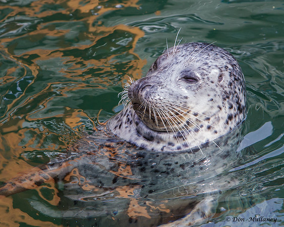 A Harbor Seal at the local marina - Victoria, Vancouver Island, BC
