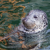 A Harbor Seal at the local marina - Victoria, Vancouver Island, BC