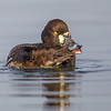 Female Lesser Scaup preening- Vancouver Island, BC, Canada