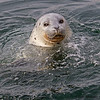 A happy Harbor Seal - Victoria, Vancouver Island, BC