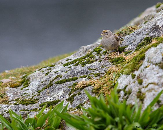 A young Golden-crowned sparrow- Victoria, Vancouver Island, BC, Canada