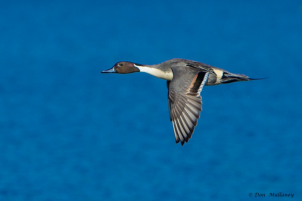 Male Northern Pintail in flight- Vancouver Island, BC, Canada